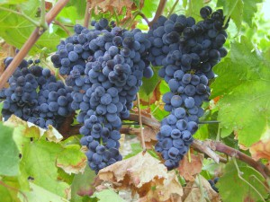 Poderi Morini in Milan to represent Indigenous grape varieties ( Centesimino ) of Romagna
